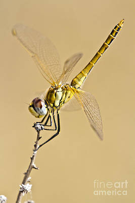 Biologic Photograph - A Dragon Flies by Heiko Koehrer-Wagner
