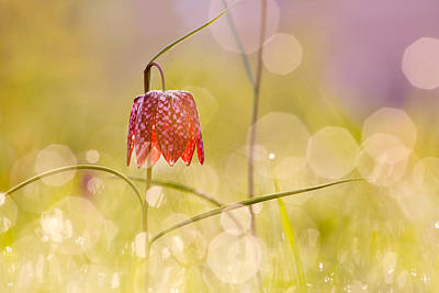 Fritillaries Photograph - A Fairies' Place II _snake's Head Fritillary by Roeselien Raimond