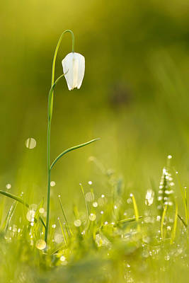 Fritillaries Photograph - A Fairies' Place IIi _snake's Head Fritillary by Roeselien Raimond