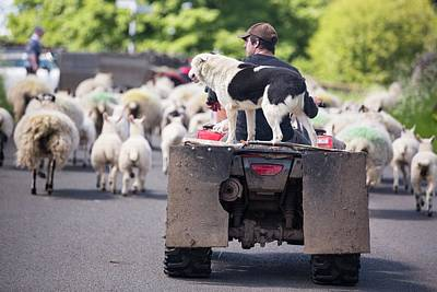 Gathering Photograph - A Farmer Droving Sheep From A Quad Bike by Ashley Cooper