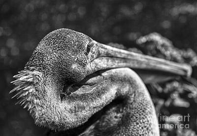 Pelican Photograph - A Feathered Friend by David Millenheft