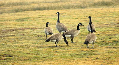 A Flock Of Canada Geese Print by Rima Biswas