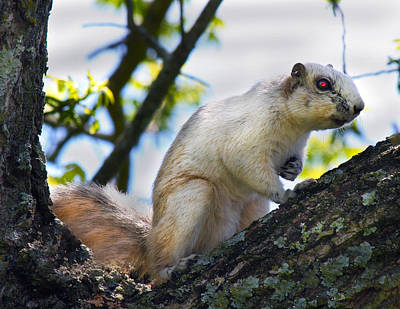 Walnut Tree Photograph - A Fox Squirrel Pauses by Betsy Knapp