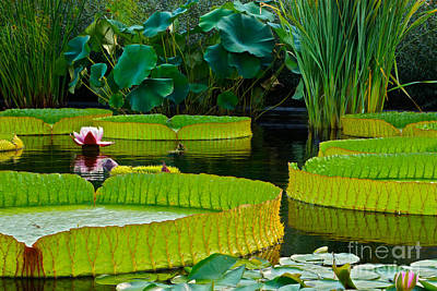 Victoria Cruziana Photograph - A Garden In Gentle Waters by Byron Varvarigos