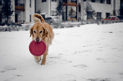 A Golden And His Frisbee Print by Brett Smith