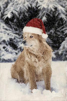 Golden Retriever Photograph - A Golden Christmas by Darren Fisher