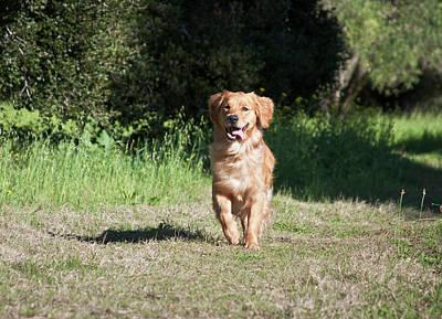 Golden Retrievers Photograph - A Golden Retriever Running by Zandria Muench Beraldo