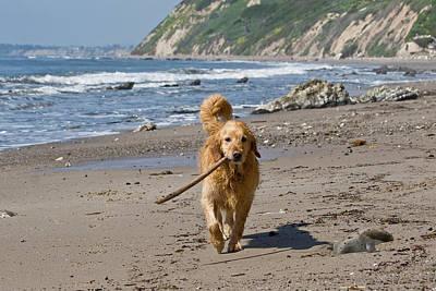 Golden Retrievers Photograph - A Golden Retriever Walking With A Stick by Zandria Muench Beraldo