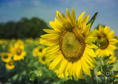 Strong America Photograph - A Grand Sunflower by Terry Rowe