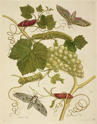 Het Photograph - A Grape Vine by British Library