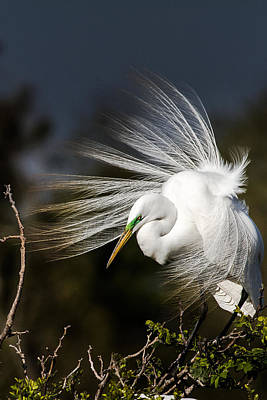 A Great Egret On A Windy Day Print by Ellie Teramoto