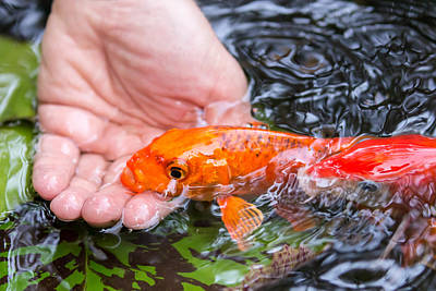 Goldfish Photograph - A Koi In The Hand by Priya Ghose