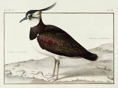Lapwing Drawing - A Lapwing by Nicolas Robert