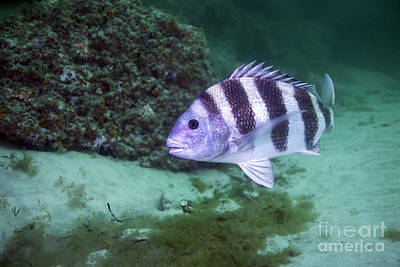 A Large Sheepshead Ruising The Bottom Print by Michael Wood