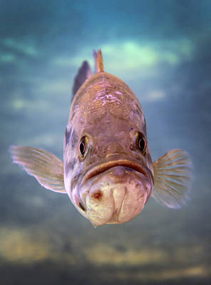 Largemouth Photograph - A Largemouth Bass Faces by Michael Wood