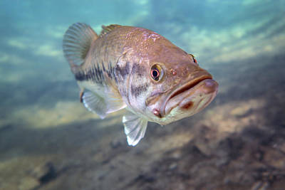 Largemouth Photograph - A Largemouth Bass Faces Swimming by Michael Wood