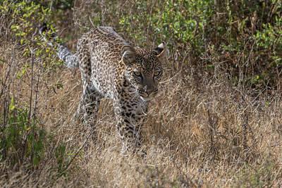 A Leopard, Panthera Pardus, Walking Print by Tom Murphy