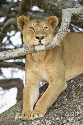 Pause Photograph - A Lion's Pause by John Blumenkamp