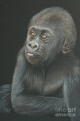 Gorilla Drawing - A Look Of Wonder - Baby Gorilla by Jill Parry