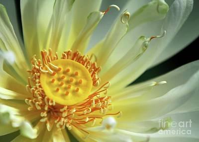 A Lotus Close Up Print by Sabrina L Ryan