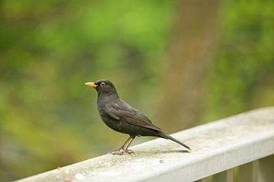 Yellow Beak Photograph - A Male Blackbird by Ashley Cooper