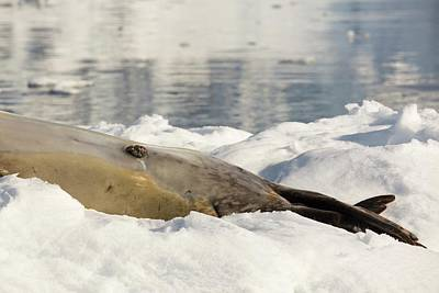 A Male Leopard Seal Print by Ashley Cooper