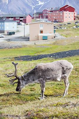A Male Svalbard Reindeer Print by Ashley Cooper