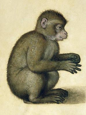 Durer Painting - A Monkey by Albrecht Durer
