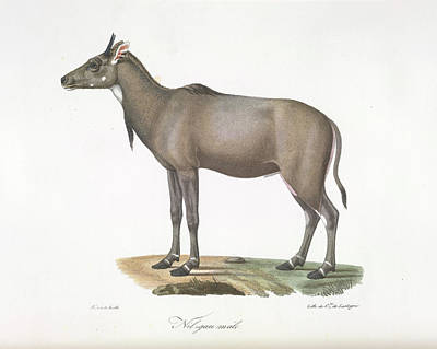 A Nylgau Antelope Print by British Library