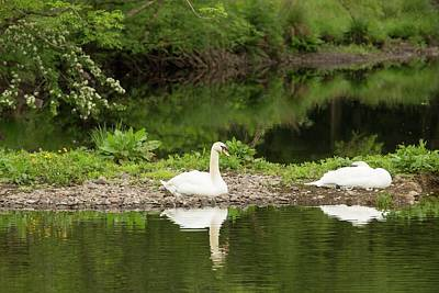 A Pair Of Mute Swans Print by Ashley Cooper