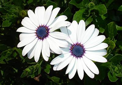 Osteospermum Photograph - A Pair Of White African Daisies by Tracey Harrington-Simpson