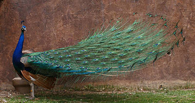 Peacock Photograph - A Peacock by Ernie Echols