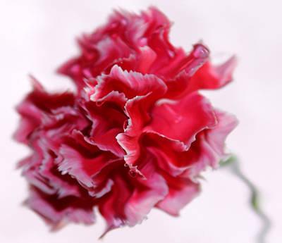 Pink Carnation Photograph - A Peculiar Love by Krissy Katsimbras