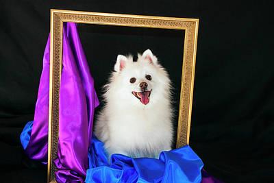 A Picture Of An American Eskimo Dog Print by Zandria Muench Beraldo