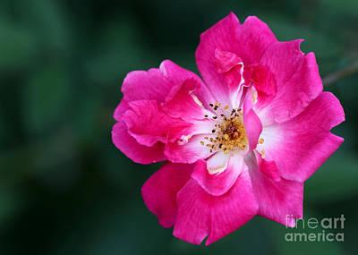 A Pretty Pink Rose Print by Sabrina L Ryan