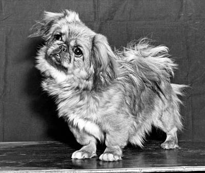 A Quizzical Pekingese Print by Underwood Archives