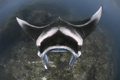 Batoidea Photograph - A Reef Manta Ray Swimming Above A Reef by Steve Jones