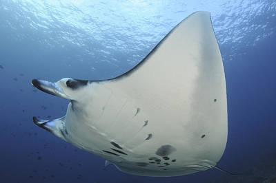Batoidea Photograph - A Reef Manta Ray Swimming In Komodo by Steve Jones