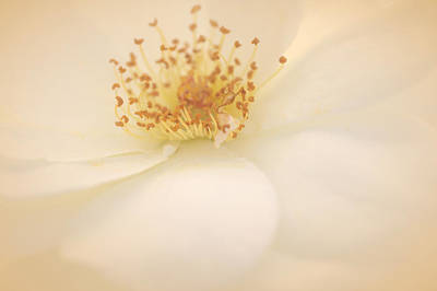 Delicately Photograph - A Rose For Peace by  The Art Of Marilyn Ridoutt-Greene