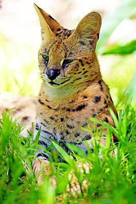 A Serval In The Grass Print by Evan Peller