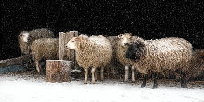 Sheep Photograph - A Stitch In Time by Robin-lee Vieira