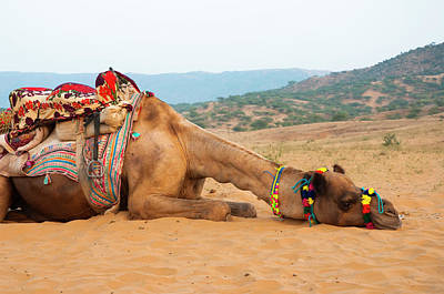 Camel Photograph - A Tired Camel, Pushkar, Rajasthan, India by Inger Hogstrom