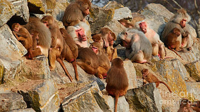 A Troop Of Baboons On A Rock Print by Nick  Biemans