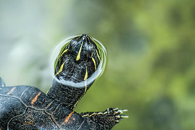 A Turtle Swimming With Its Head Peeping Print by Rona Schwarz