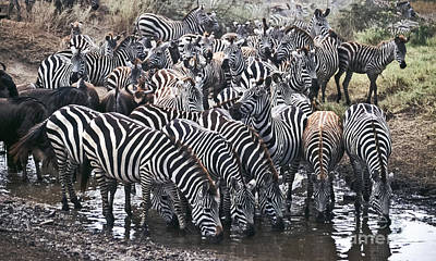 Zebra Photograph - A Welcome Drink by Liz Leyden
