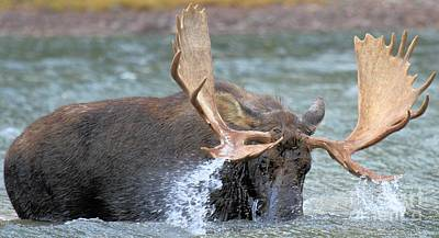 Moose In Water Photograph - A Wet Rack by Adam Jewell