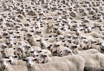 Parable Photograph - A Wolf In Sheeps Clothing by Mike Agliolo