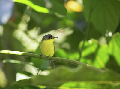 Flycatcher Photograph - A Yellow-lored Tody Flycatcher by Alex Saberi