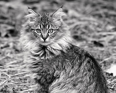 A Young Maine Coon Print by Rona Black