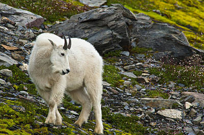 A Young Mountain Goat Billy Is Grazing Print by Michael Jones